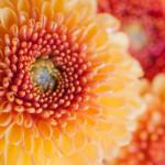 A kegyelet virágai